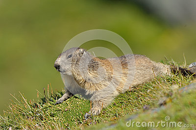 Marmot (Marmota)