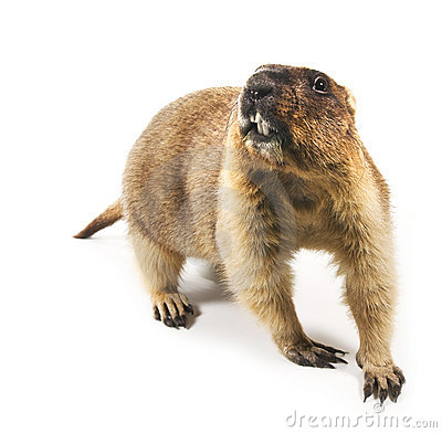 Free Marmot (Marmota Steppe) On A White Background Royalty Free Stock Images - 17733249