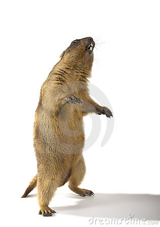 Marmot (Marmota steppe) on a white background