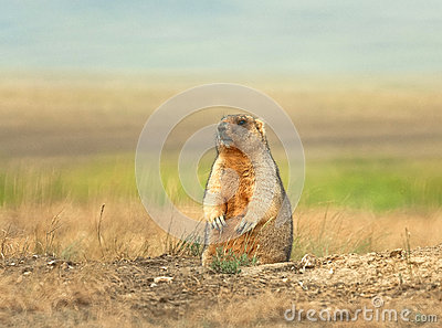 Marmot - master of the steppes.