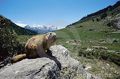 Marmot in mountains of france alps