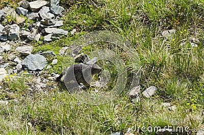 Marmot Murmeltier