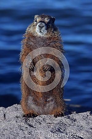 Free Marmot On Guard Duty Stock Photography - 132868962
