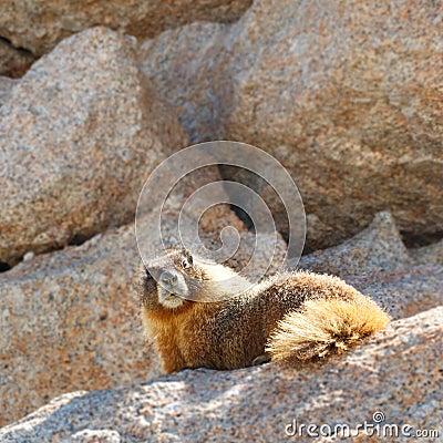 Marmot på Mount Whitney