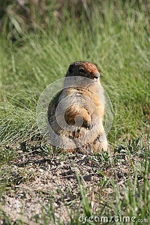 Marmot Pause