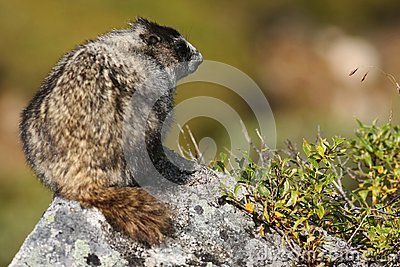 Marmot perched atop a Rock in Hatcher Pass, AK