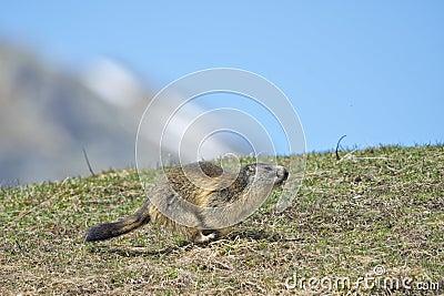 Marmot portrait while running