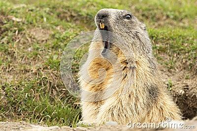 Marmot portrait while yawning