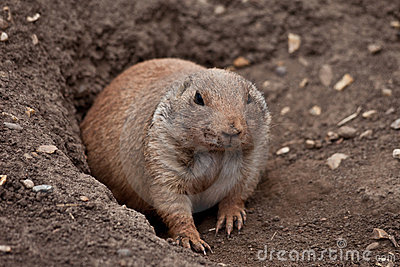 Marmot (Prairie dog, gopher) coming out of burrow