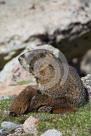 Marmot Resting on the Tundra