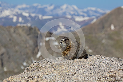 Marmot on Rock in High Mountains
