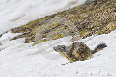 Marmot while running on the snow