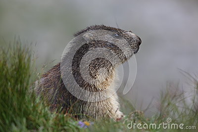 Marmot thoughts