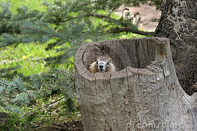 Marmot in tree stump