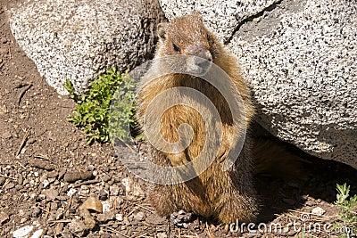 Marmot, Yosemite
