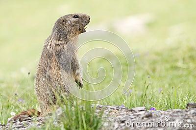 αλπικό marmota μαρμοτών
