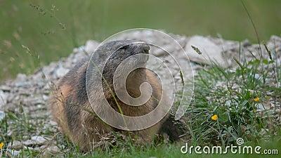 Marmota