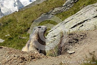 Marmota alpestre