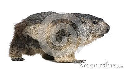 Marmota alpina - marmota do Marmota (4 anos velho)