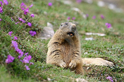 Marmota alpina (marmota do Marmota) na mola.