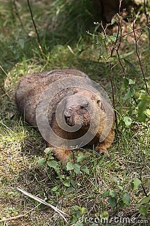 Marmota de Bobak
