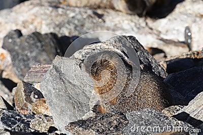 Marmota de Yound