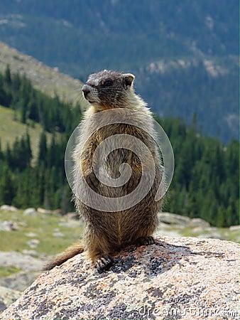 Marmota em uma rocha
