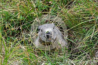 Marmota en la guarida