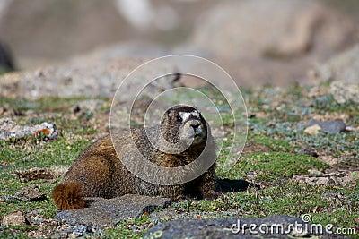 Marmota en la tundra