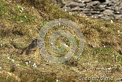 Marmota entre la hierba