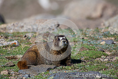 Marmota na tundra