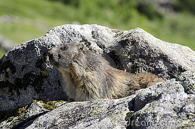 Marmota salvaje