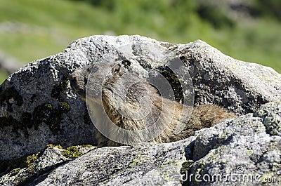Marmota selvagem