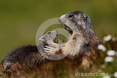 Marmots fight
