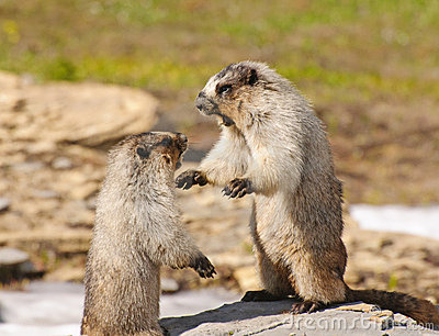 Marmots fighting for Territory