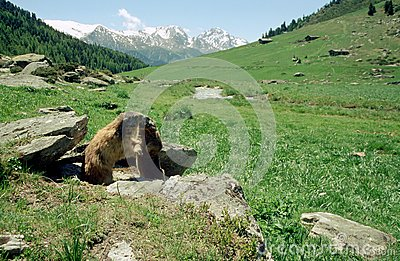 Marmots kissing in french alps