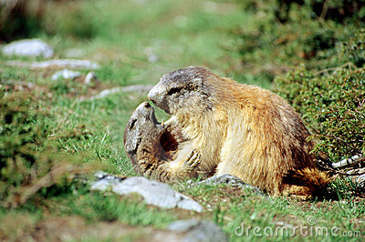 Marmots ready for kissing