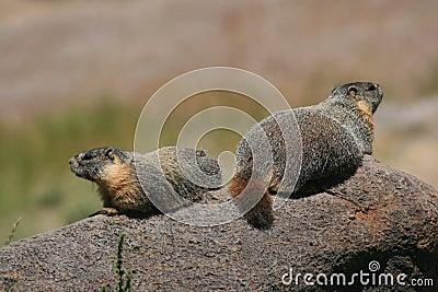 Marmots on a rock