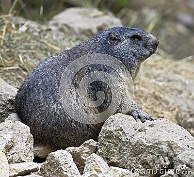 Marmotta 2