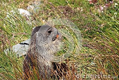 Marmotta alpina