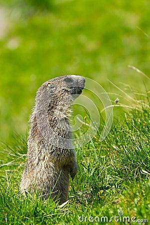 Marmotta nelle alpi