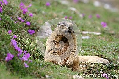 Marmotte alpestre (marmota de Marmota) au printemps.