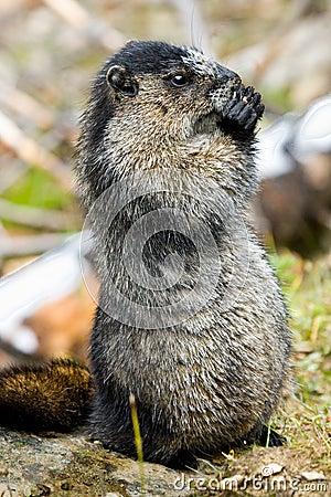 Marmotte blanchie