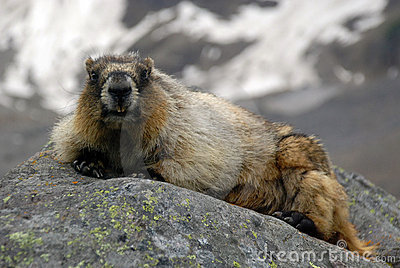 Marmotte blanchie