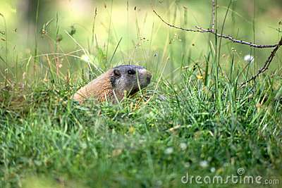 Marmotte dans l herbe