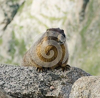 Marmotte gonflée par jaune