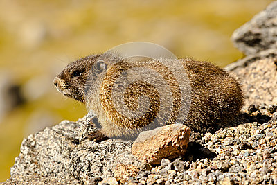 Marmotte Yellow-Bellied