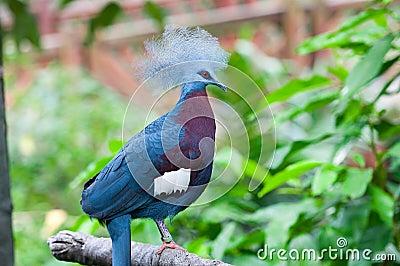 Maroon-breasted crowned pigeon