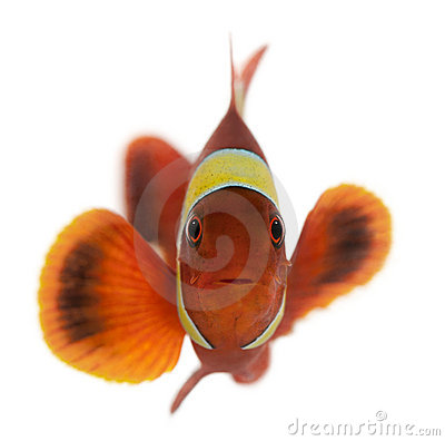 Maroon clownfish, Premnas biaculeatus
