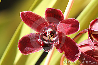 Maroon Orchid Flower